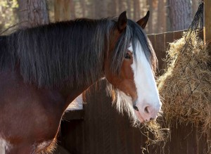 Lex the Clydesdale